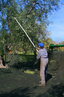 Olive collector