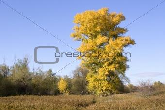 old aspen in fall