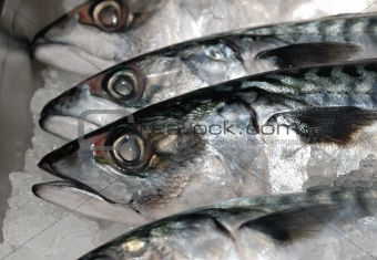 mackeral on ice at fishmonger