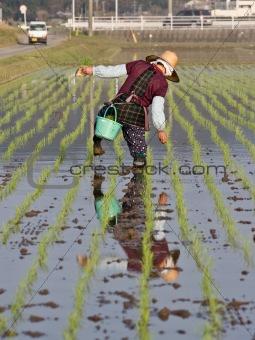 Old woman walking  in wet rice field in Japan