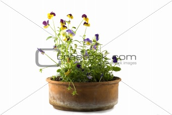Small Pansy