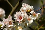 pinkish-white almond blossoms
