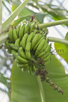 Bananas in tree