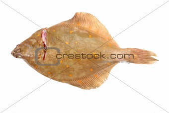 Flat fish on white