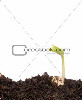 Small bean seedling