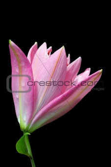 Bright Pink Trumpet Lily Flower Opening Up