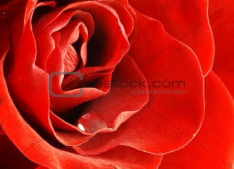 close up shot of red rose