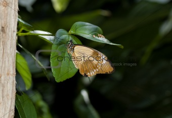 Flying handkerchief butterfly