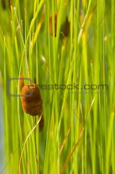 cattail, green background