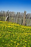 Wooden fence and yellow dandelions