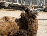 Ugly Camel