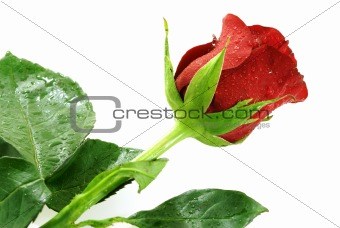 single nice red rose with droplets