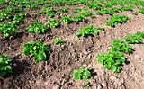 potatoes field