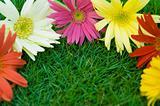 Daisy - spring flower border