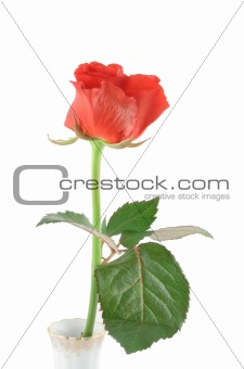 beautiful rose on white (in vase)