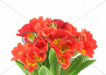 beautiful vivid flowers on white background