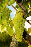 White grapes