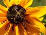 Bee On Daisy 5
