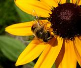 Bee On Daisy 7