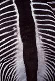 Zebra back stripes closeup