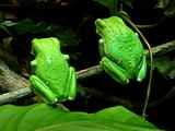 Twin Waxy Monkey Tree Frogs from the rear