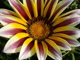 Gazania Tiger Stripe Mixed 1