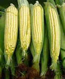Organic corn clips