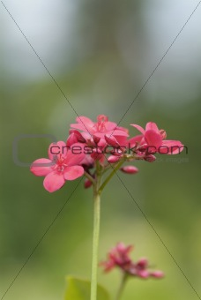 Small, pink flowers