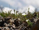Small white flower in front of snowy mountains