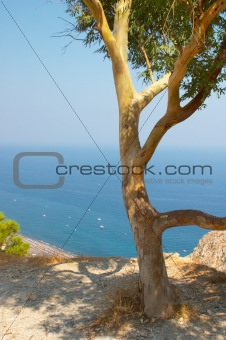Olive tree, Santorini, Greece