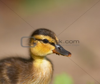Baby duck portrait