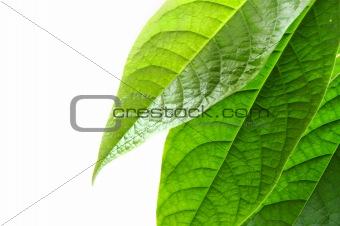Grean leaves