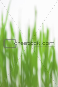 Green grass blured