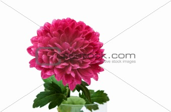 purple chrysantheum 