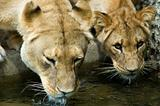 Two drinking Lionesses -2