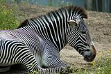 Relaxing Zebra