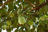 Over-laden fruit tree