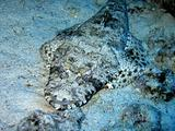 Crocodile fish