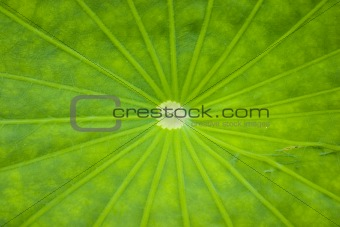 Close-up of a Lotus leaf