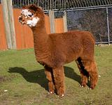Brown White Calico Alpaca Llama