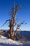 Old Tree at Crater Lake