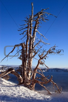 Old Tree at Crater Lake
