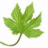 wild hops leaf