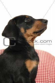Puppy in profile