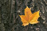 Maple leaf on bark