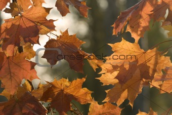 Autumn leves on blurred background