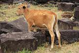 Kambodian calf