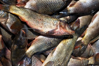 carp in fish place market
