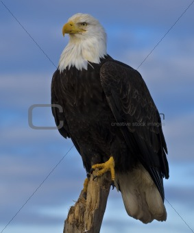 American Eagle Credit Card Sign In >> Image 805264: Bald Eagle (Haliaeetus leucocephalus) from ...