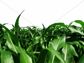 Baby Corn Stocks Cut Out